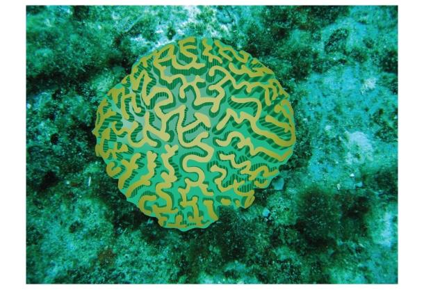 Brain-Coral_13