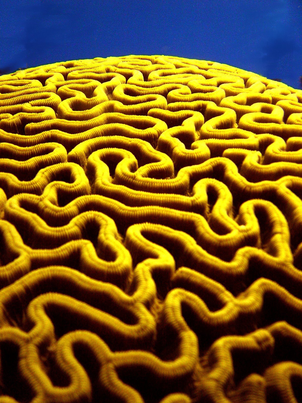 brain coral drawing - photo #17