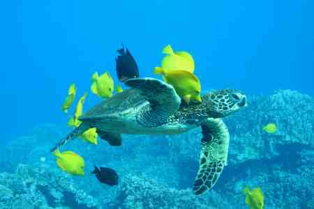 Loggerhead with tropical fish