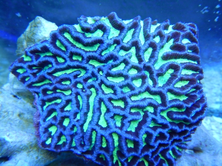 http://blueearthaquariums.com/wp-content/uploads/2013/04/Maze-Brain-Small-Parent-Colony.jpg