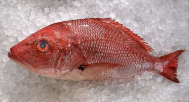 Small_Snapper