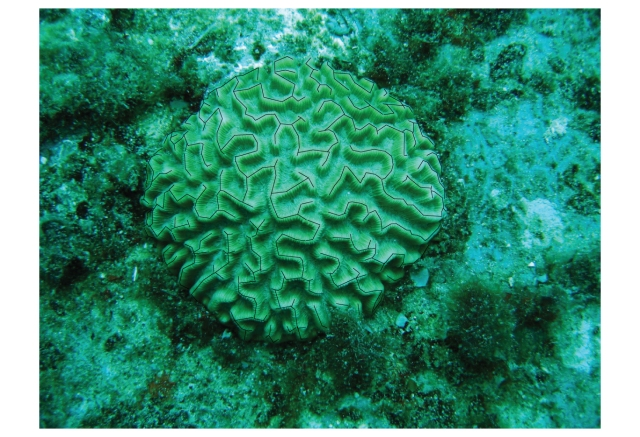 Brain-Coral-as-Lines_01